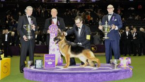 Image of Rumor, a German Shepherd dog that won the 2017 Best In Show award
